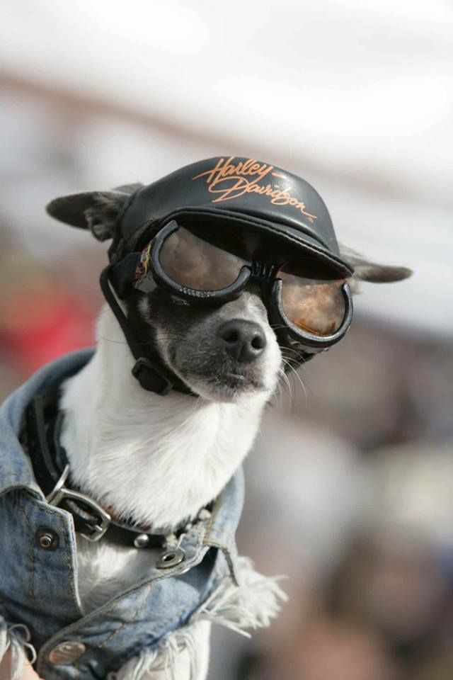 dog wearing motorcycle sunglasses